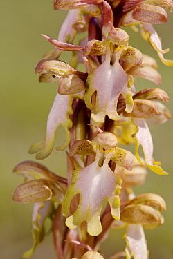 Giant orchid (Himantoglossum robertianum) Kattavia, Rhodes Island, Greece, March.