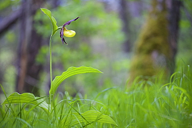 Lady's slipper orchid (Cypripedium calceolus) Vercors Regional Park, Col du Prayet, Isere , France, May.