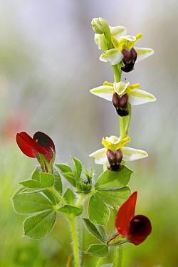 Orchid (Ophrys pallida), Bosco della Ficuzza, Sicily, April.