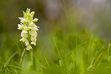 Orchid (Dactylorhiza markusii), Bosco della Ficuzza, Sicily, April.