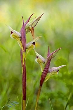 Eastern tongue orchid (Serapias orientalis var. siciliensis), Sortino, Sicily, April.