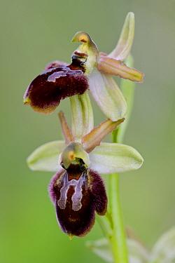 Orchid (Ophrys explanata), Ferla, Sicily, April.