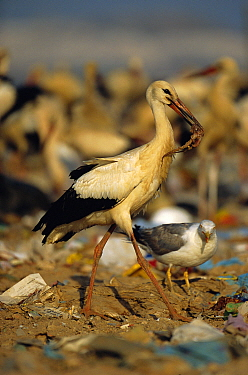 White stork with food scavenged from rubbish dump {Ciconia cinconia} Spain