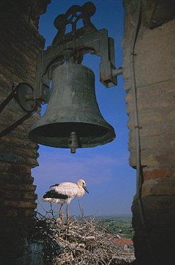 White stork nesting next to bell tower {Ciconia cinconia} Spain