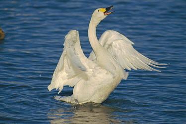 Bewick's swan displaying on water {Cygnus columbianus bewickii} UK