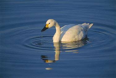 Bewick's swan on water {Cygnus columbianus bewickii} UK
