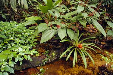 Tropical rainforest bromeliad and plants next to stream, Amazonia, Peru