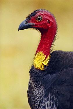 Brush turkey portrait {Alectura lathami}