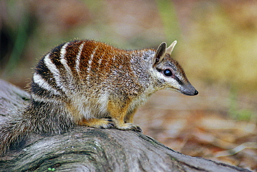 Numbat portrait {Myrmecobius fasciatus} Australia. Did you know? An adult Numbat eats up to 20,000 termites each day.