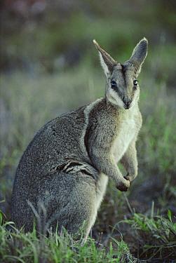Bridled nailtail wallaby portrait {Onychogalea fraenata} Australia