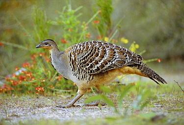Mallee fowl / Lowah {Leipoa ocellata} Australia