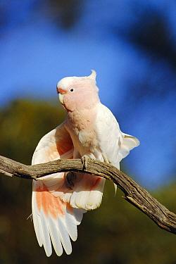 Pink cockatoo stretching wing {Cacatua leadbeateri} Australia