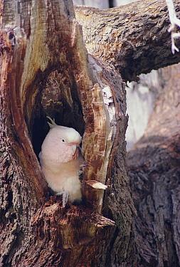 Pink cockatoo at nest hole in tree {Cacatua leadbeateri} Australia