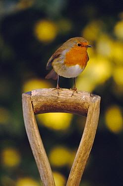 Robin perched on garden spade handle {Erithacus rubecula} UK