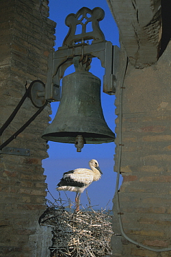White stork nesting beside bell tower {Ciconia ciconia} Spain