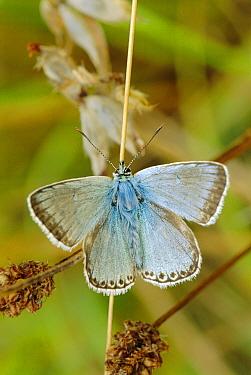 Chalkhill blue butterfly portrait {Polyommatus coridon} UK