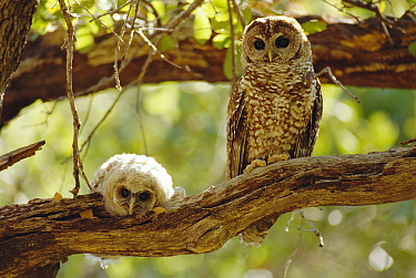 Mexican spotted owl with fledgling {Strix occidentalis lucida} Arizona, USA