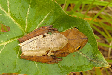 Map tree frog pair mating {Hyla geographica} tropical rainforest, Peru