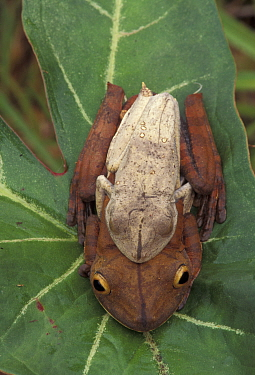 Map tree frogs pair in amplexus {Hyla geographica} note size difference. Rainforest, Peru