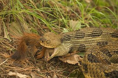 Timber rattlesnake {Crotalus horridus} eating American red squirrel USA