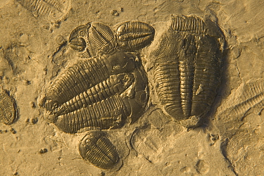 Trilobite fossils from middle cambrian period {Bolaspidella housensis} USA