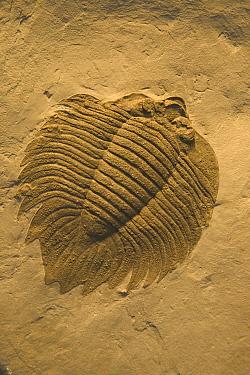 Trilobite fossil from silurian period {Arctinurus boltoni} 410m-yrs-old USA