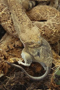 Western diamondback rattlesnake {Crotalus atrox} eating Wood rat, AZ, USA.