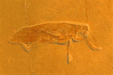 Fossil grasshopper: Pycnophlebia U Jurassic. Solnhofen, Germany.