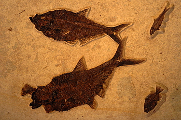 Diplomystus eating priscacara. Green River Formation. Wyoming Eocene 50 million years bp.