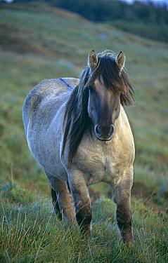 Rum pony {Equus Caballus} portrait on hillside, Scotland