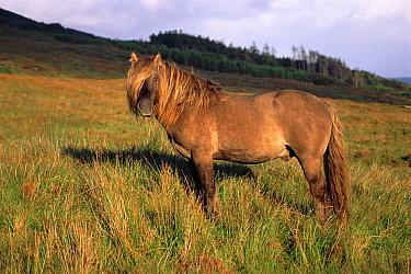 Rum pony (Equus caballus) in Scotland.