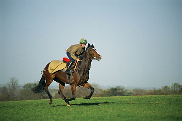 Thoroughbred race horse galloping {Equua caballus} UK.