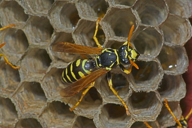 European paper wasp female at nest {Polistes dominulus} USA. Introduced to Boston area.