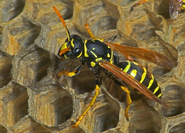 European paper wasp female at nest {Polistes dominulus} USA, introduced to Boston area.