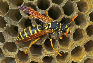European paper wasp female (note straight antennae) USA {Polistes dominulus}.