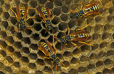 European paper wasp females at nest {Polistes dominulus} USA. Introduced to Boston area.
