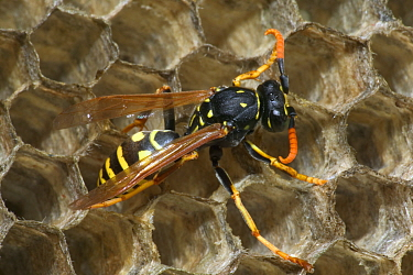 European paper wasp male (note curved antennae) {Polistes dominulus} USA.