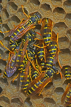 European paper wasp females sunning at nest {Polistes dominulus} USA.