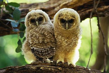Mexican spotted owl fledglings {Strix occidentalis lucida} Arizona, USA.