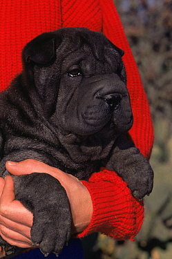 Shar pei puppy (Canis familiaris) Arizona, USA