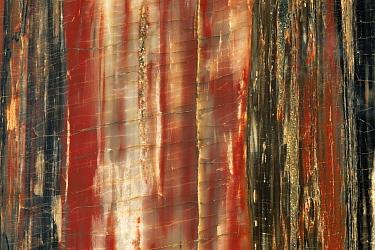 Petrified wood of extinct tree {Araucarioxylon sp} Arizona, USA