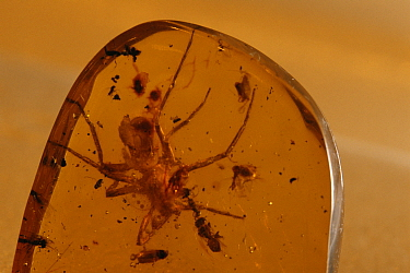 Fossil spider in amber, 50 million years old, Dominican republic