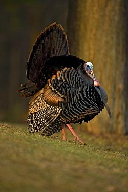 Wild Turkey {Meleagris gallopavo} male displaying, NY, USA.