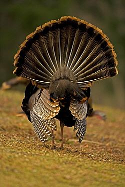 Rear view of male Wild Turkey {Meleagris gallopavo} displaying, NY, USA.