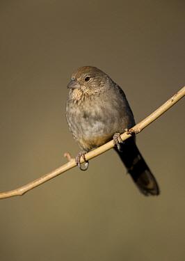 Brown Towhee {Pyrgisoma fuscum} perching on branch, Arizona, USA.