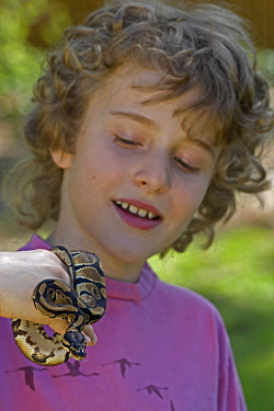 Boy holding captive Ball Python {Python regius} USA.