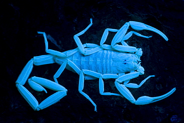 Bark Scorpion {Centruroides exilicauda} photographed under ultra-violet light, Arizona, USA, captive