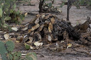 Whitethroat Woodrat nest (Neotoma albigula), 2-3 ft high, Sonoran Desert, Arizona, USA