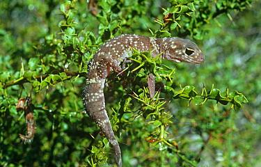 Thick tailed gecko {Underwoodisaurus milii} Australia
