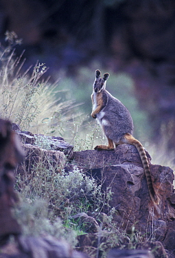 Yellow-footed Rockwallaby {Petrogale xanthopus} on rocks, Southern Australia
